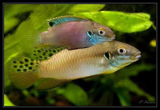 Картинки по запросу Enigmatochromis lucanusi